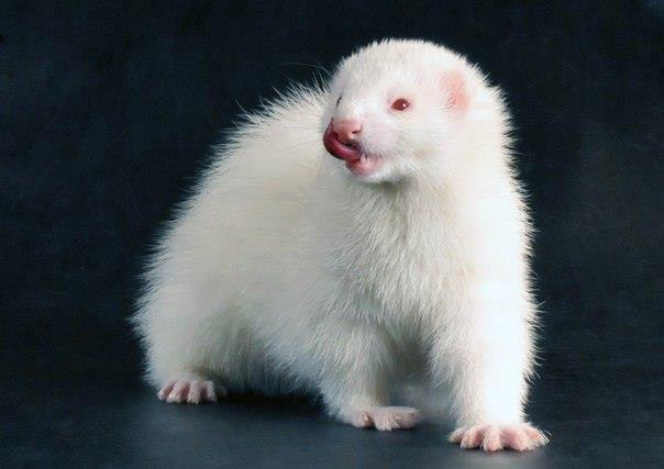 альбинос Блоня